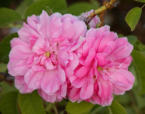Rose tappezzanti: Quatre Saisons