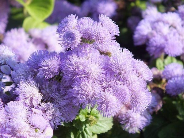 fioritura agerato