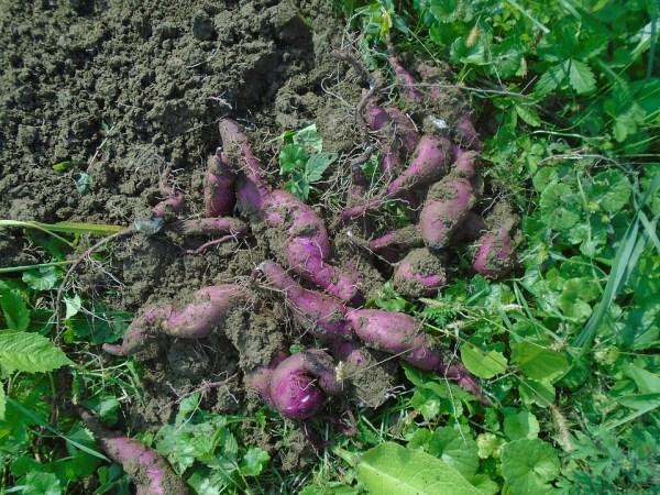 I tuberi della patata dolce o ipomoea batatas
