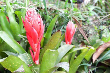 Billbergia pyramidalis (Kyoto)