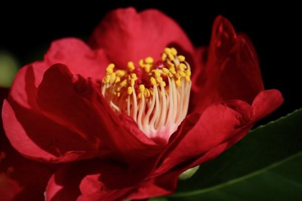 Camellia (Camelia)
