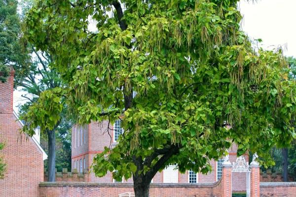 Alberi da giardino: Catalpa (Albero dei sigari)