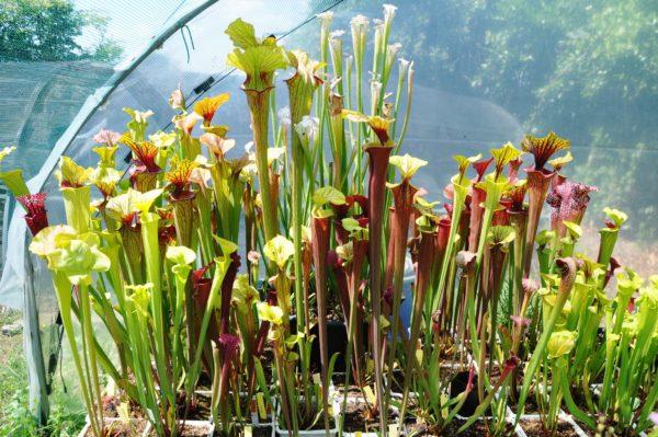 come coltivare le piante carnivore