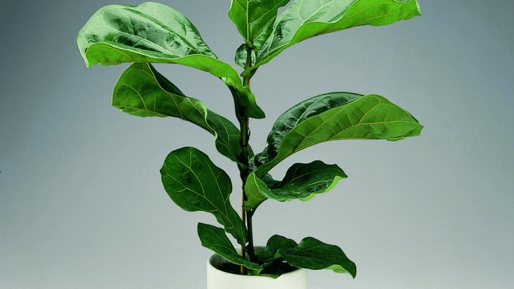 coltivazione ficus lyrata
