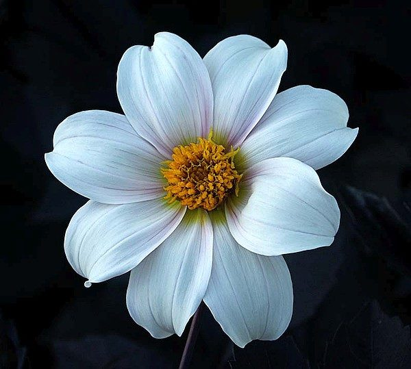 Dalia a fiore semplice 'Twyning's After Eight',