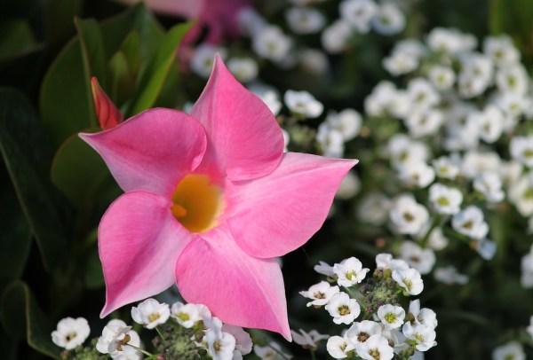 Dipladenia fiore