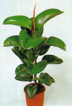 Ficus Elastica O Robusta Consigli Coltivazione E Cura