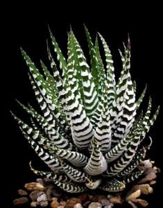 haworthia-fasciata