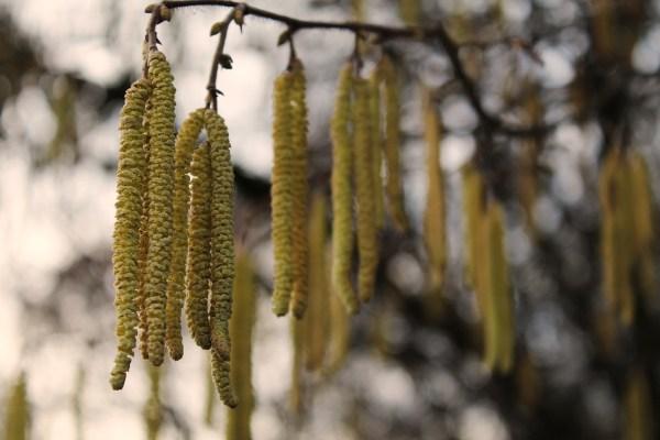 Cosa fiorisce a Febbraio? il nocciolo