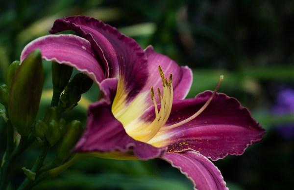 Hemerocallis: bulbose a fioritura estiva