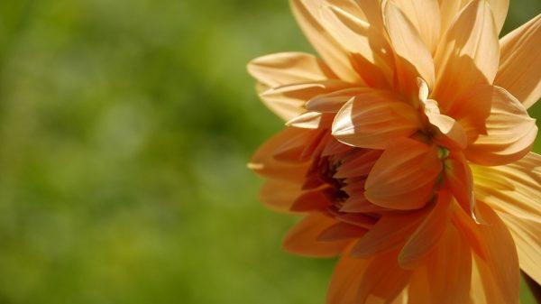 giacinto arancione