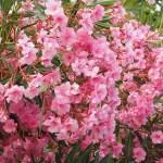 Oleandro (Nerium oleander)