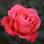 Fiori e piante dalla A alla Z: Oleandro, Pervinca, Petunia, Portulaca, Rosa, Tagete