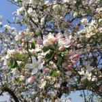Melo ornamentale da fiore