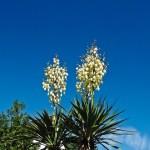 Yucca Elephantipes (o Gigantea)