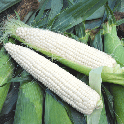 Sweet Corn (Natural Bright)