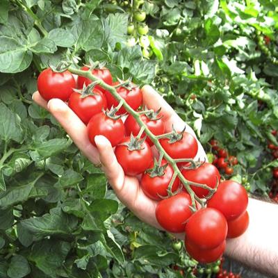 Cherry Tomatoes (Vine Ripened)