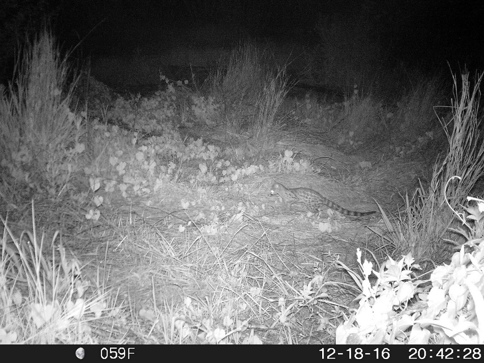 Large spotted genet in Westlake wetland January 2018