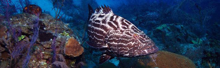 Grouper in Cuba's gardines de la reina