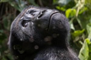 eastern lowland Grauer's gorilla