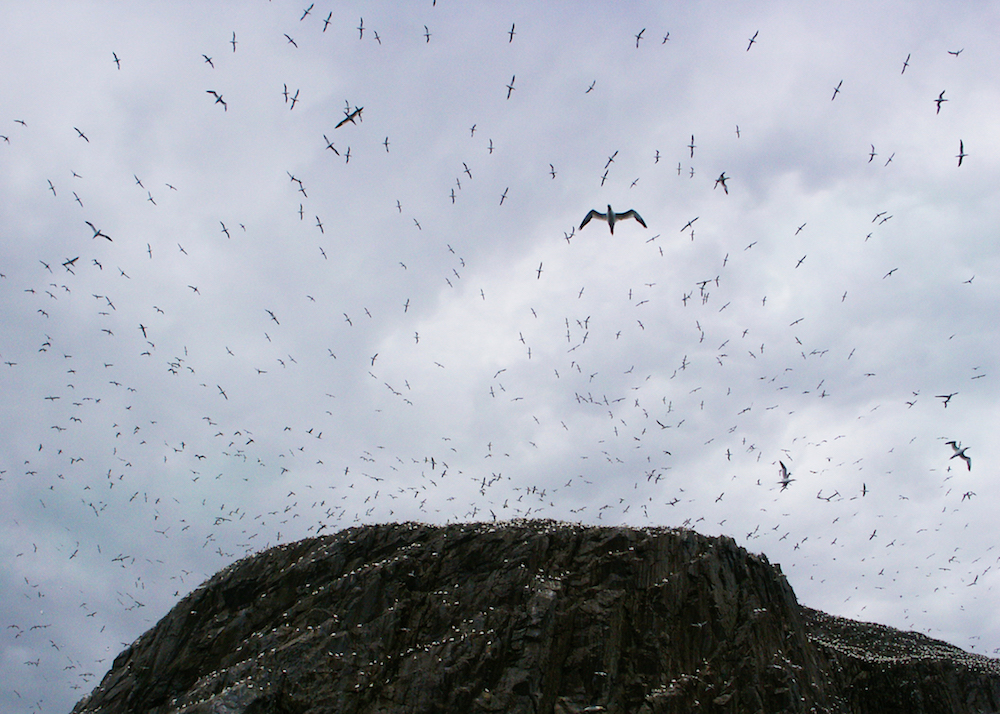 Northern Gannets on the Bass Rock