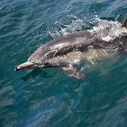 Cetaceans (dolphins, whales)