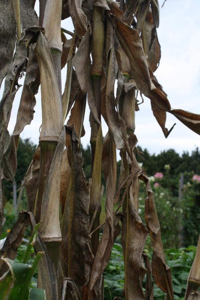 growing carbon - corn stalks