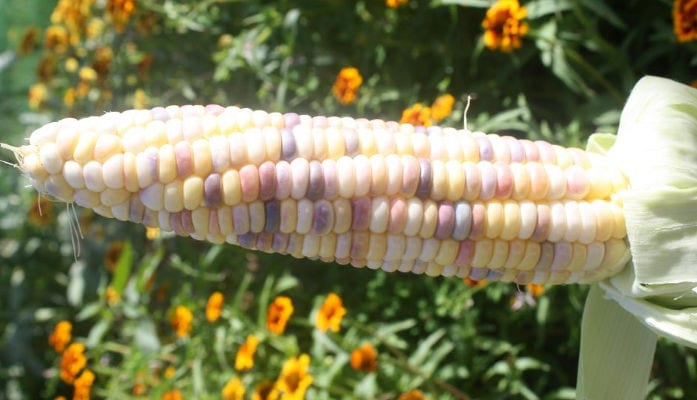 Sweet heirloom, sweet corn