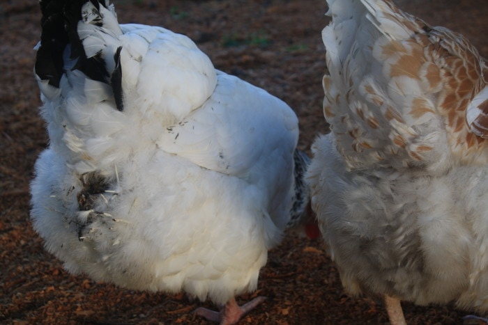 Chook with dirty pants - a sign of worms