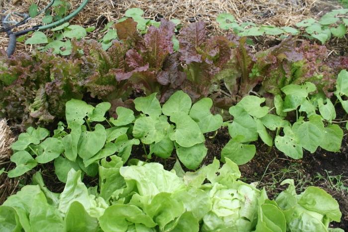 interplanting