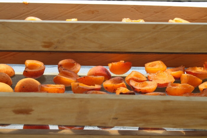Apricots in solar drier