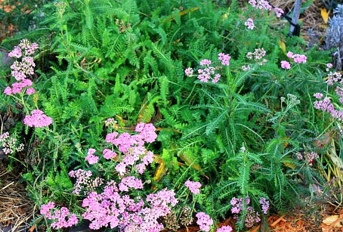 A beautiful patch of yarrow