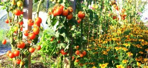 autumn tomatoes