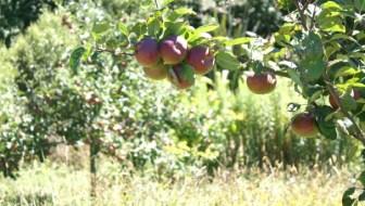 apples summer