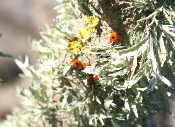 ladybugs hibernating