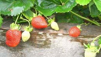 May In The Vegie Patch + Strawberries + Asparagus