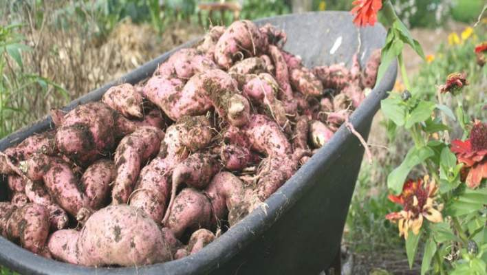When To Harvest Kumara, Perfectly Ripe Pumpkins and Early Garlic