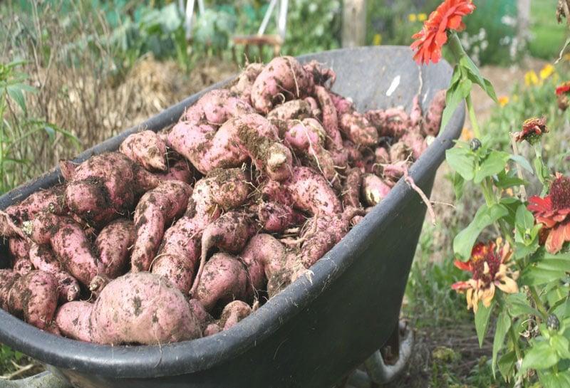 A wheelbarrow full on the delicious New Zealand sweet potato, known as Kumara