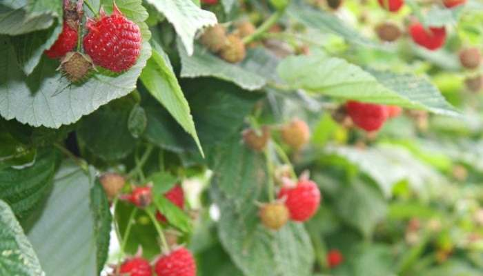 September In The Raspberry Patch