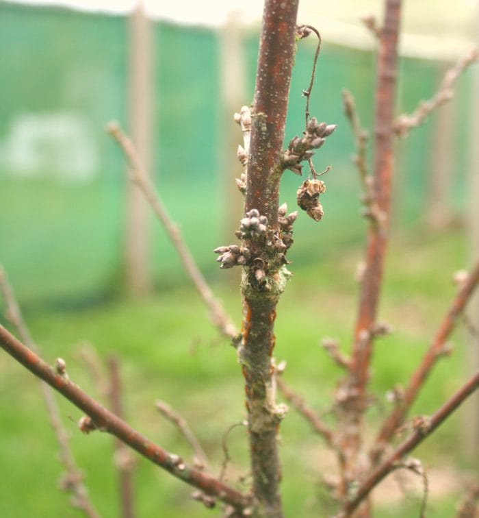 dc2a42a2d How To Prune Redcurrants And Blackcurrants ⋆ Edible Backyard