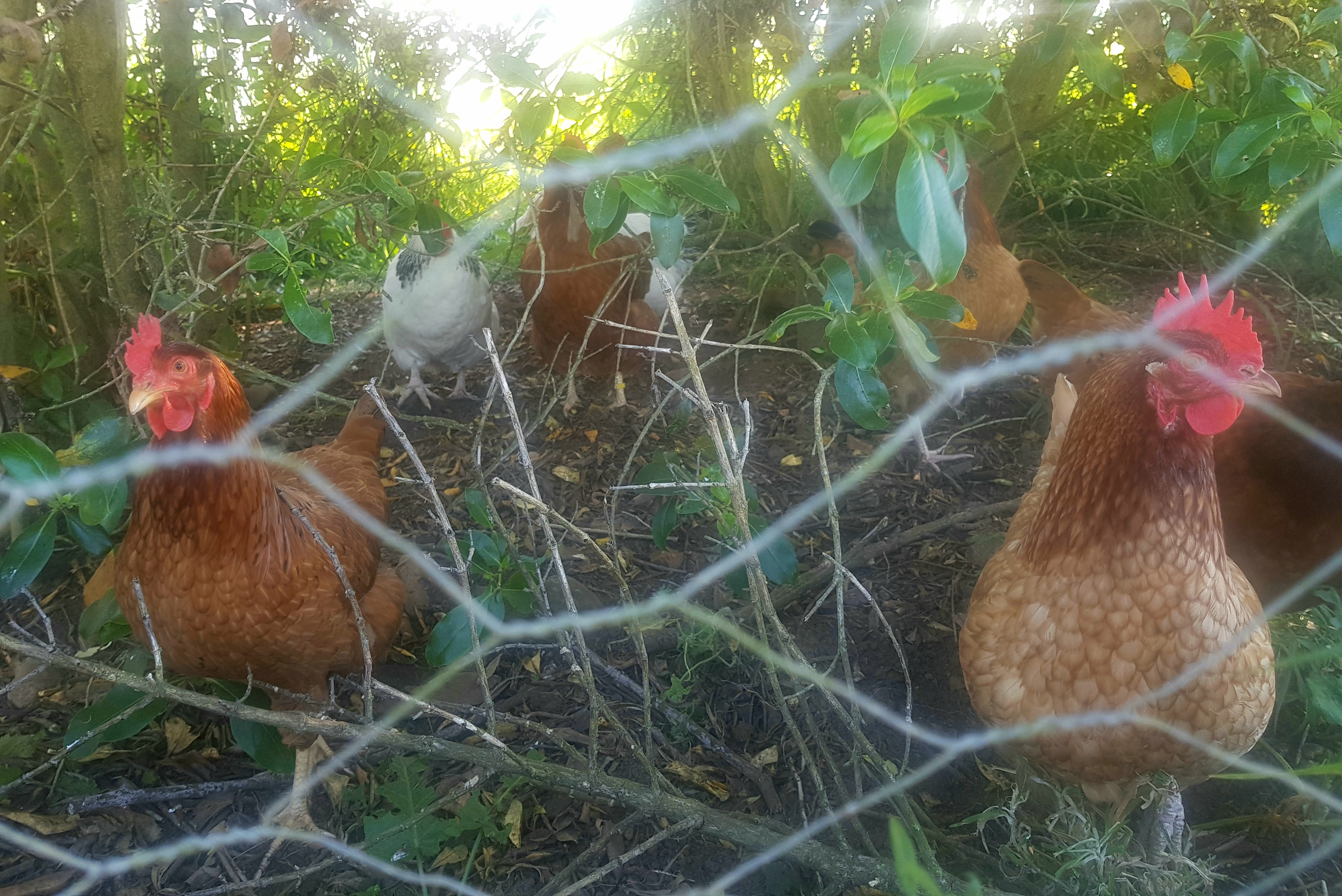 chooks in the shade