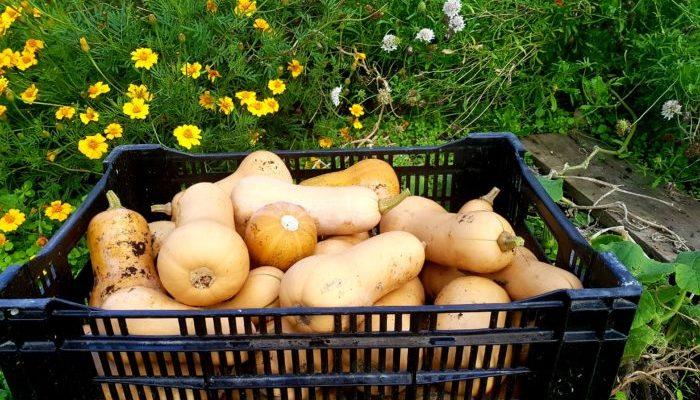 butternut harvest