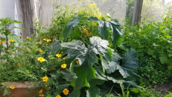 zuchinni and living mulch mustard and marigold