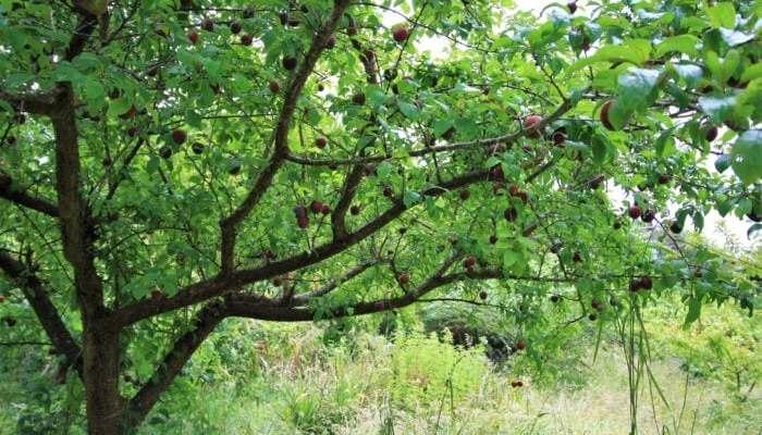 tamaki plum fruiting at ediblebackyard