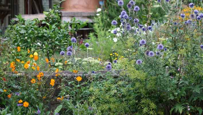 March-in-the-veggie-patch-Echinops-and-sunset-cosmos-Ediblebackyard-NZ