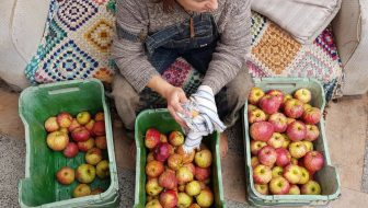 Captain Kidd apples being sorted and harvested Edible backyard NZ