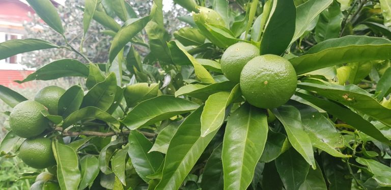 Developing mandarin fruits are a good size and healthy Edible backyard NZ