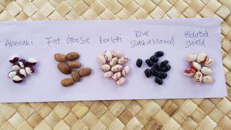 Shellout bean harvest ediblebackyard NZ