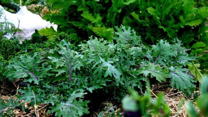 red russian kale ediblebackyard nz