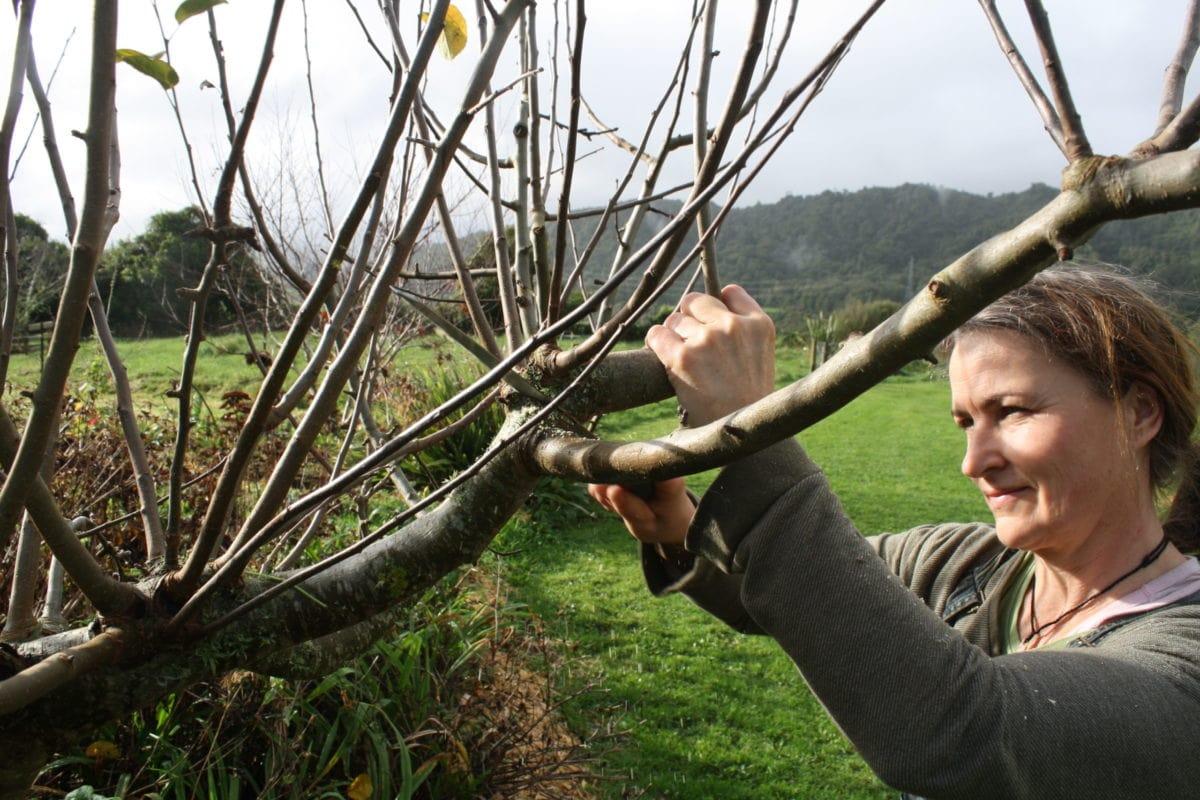 pruning out the clutter in Hetlina apple tree ediblebackyard nz